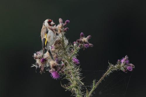 Thistle feeder (HH)