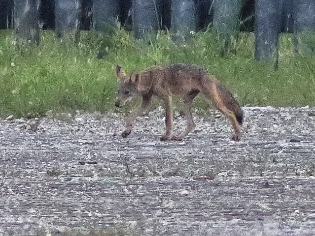 Coyotes pup 06-20200803