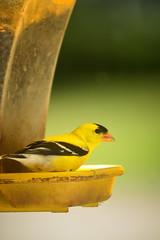 Golden Visitor