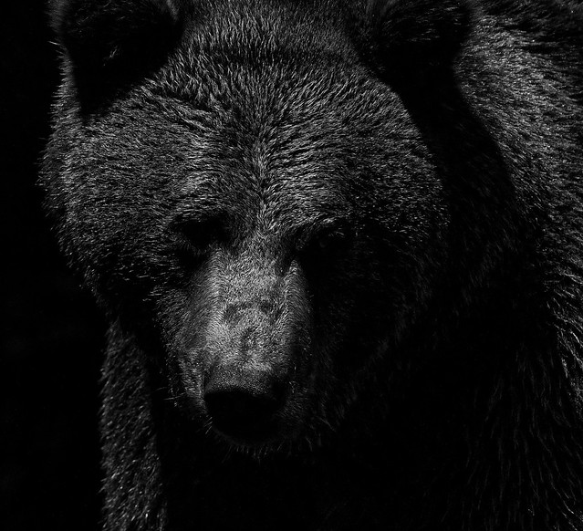 Brown bear in black