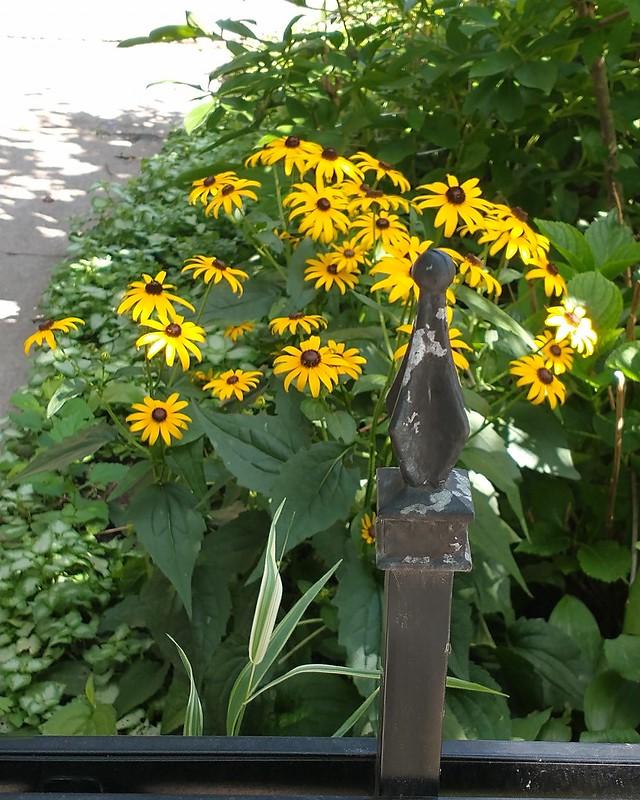 Black-eyed susans beyond the fence #toronto #churchandwellesley #dundonaldstreet #flowers #yellow #blackeyedsusan
