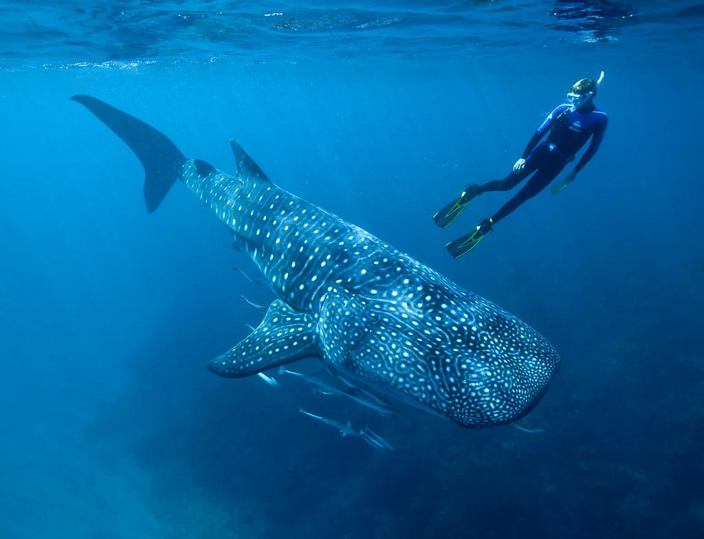 photo of whale shark