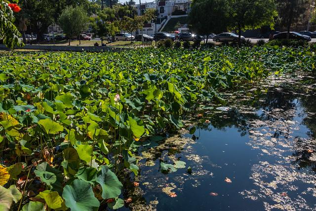 Lots of Lotuses at Echo Park Lake