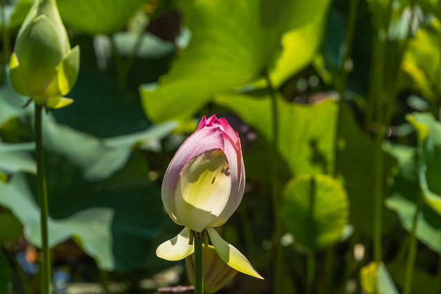 Lotus Flowers at Echo Park Lake