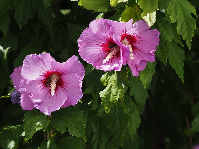 Eibischblüte(2)