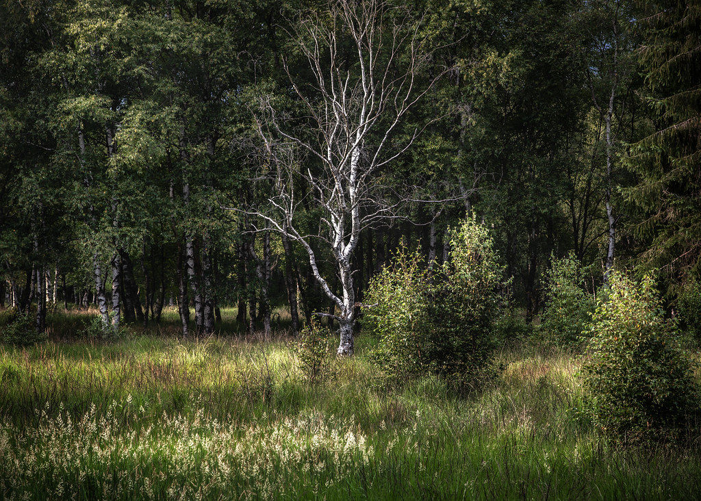 Dead birch in the evening sun