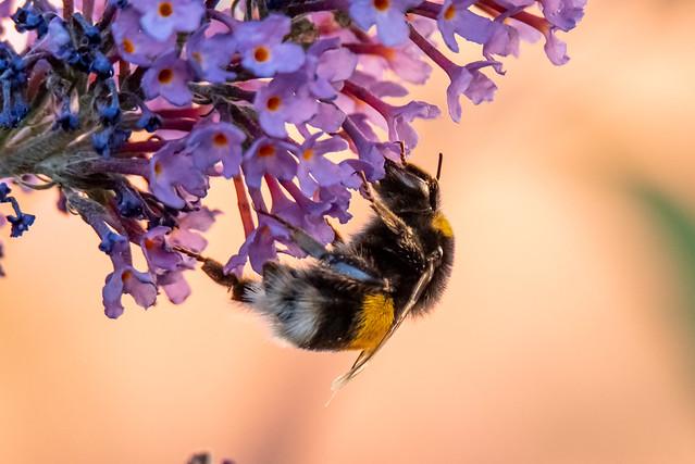 Dunkele Erdhummel / Dark ground bumblebee