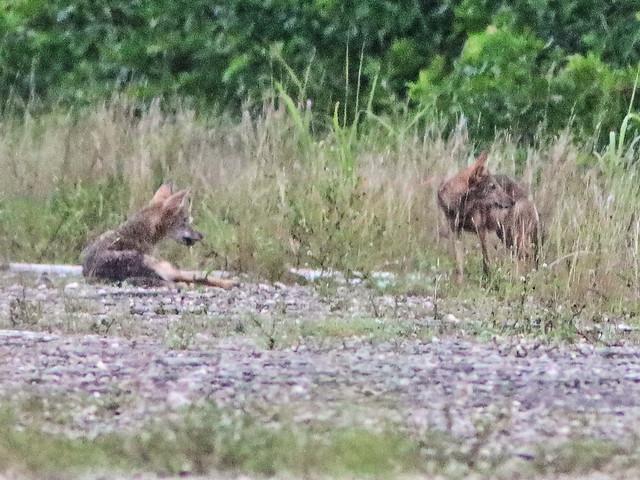 Coyotes pups 03-20200803