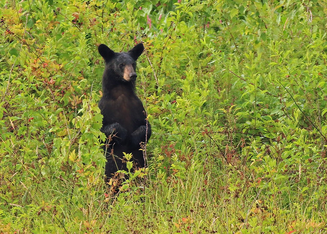 Black Bear in the berry patch