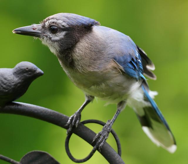 Blue Jay (juvenile)