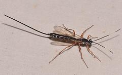 Rhyssa lineolata