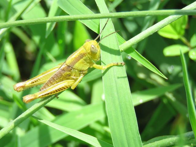 immature grasshopper
