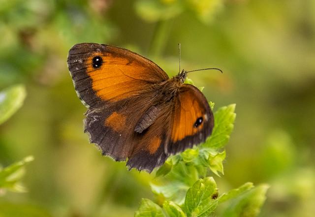 Meadow brown - Maniola jurtina _A7A0197