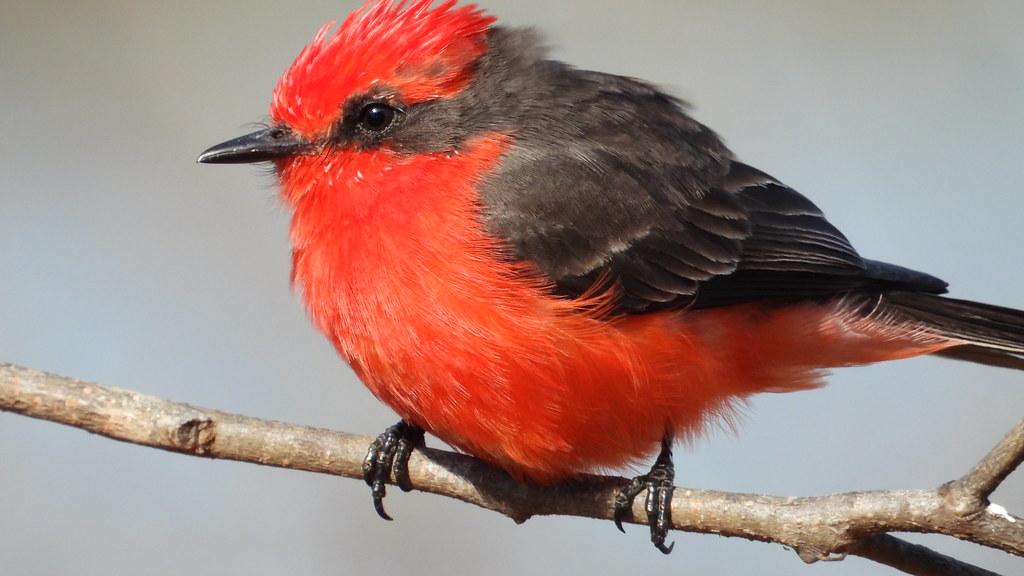 Príncipe - Vermilion Flycatcher