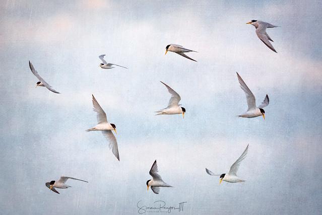 Least Tern, Many Turns
