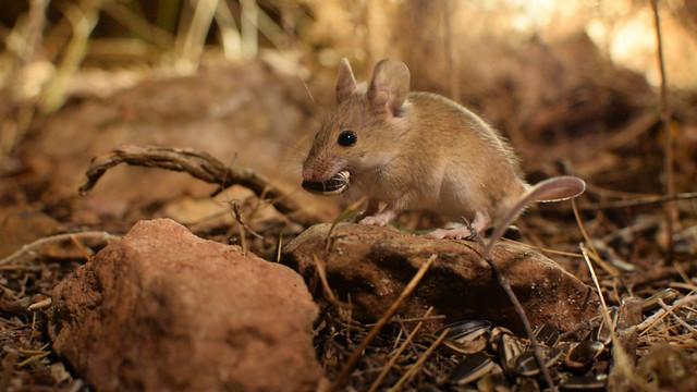 Ratón moruno (Mus spretus)