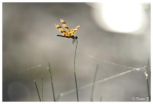 Halloween pennant Dragonfly, Lake Mary Florida -267