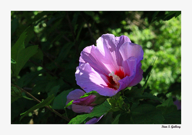 August - A Rose of Sharon