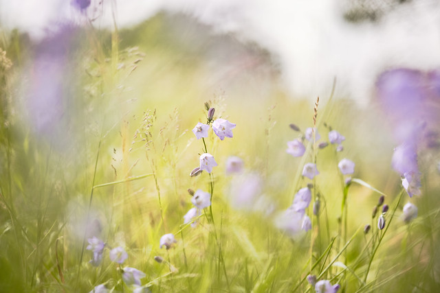 Mauve in the meadow