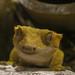 Kronengecko (Lat. Correlophus ciliatus) - Cleopatra