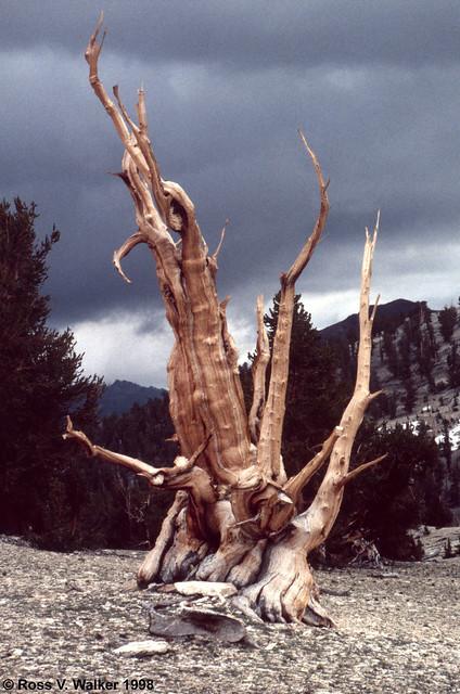 Ancient Bristlecone