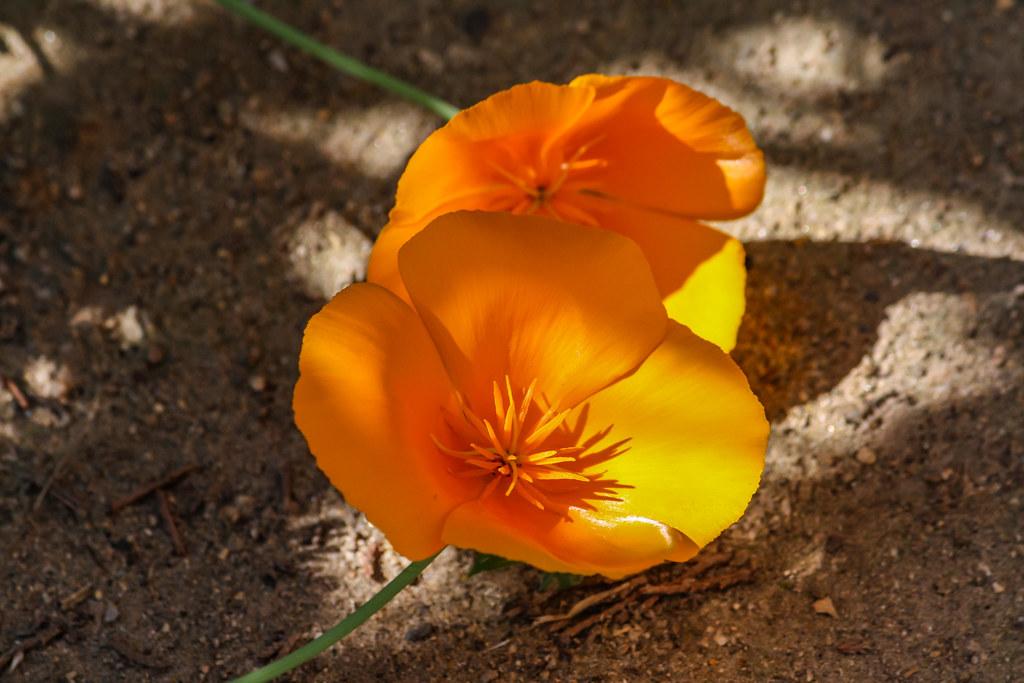 Poppy 2009 05 15 01