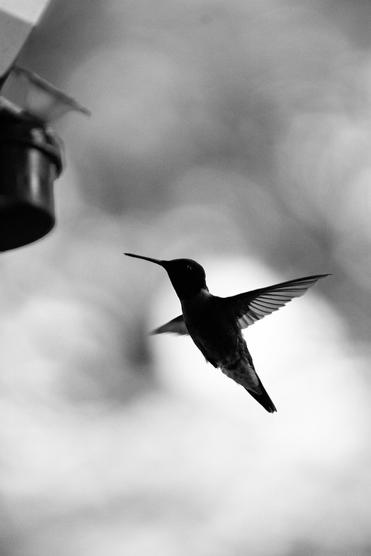 Hummingbird in B&W