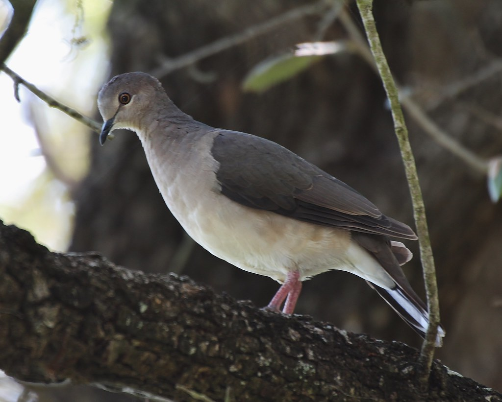 Leptotila verreauxi, White-tipped Dove