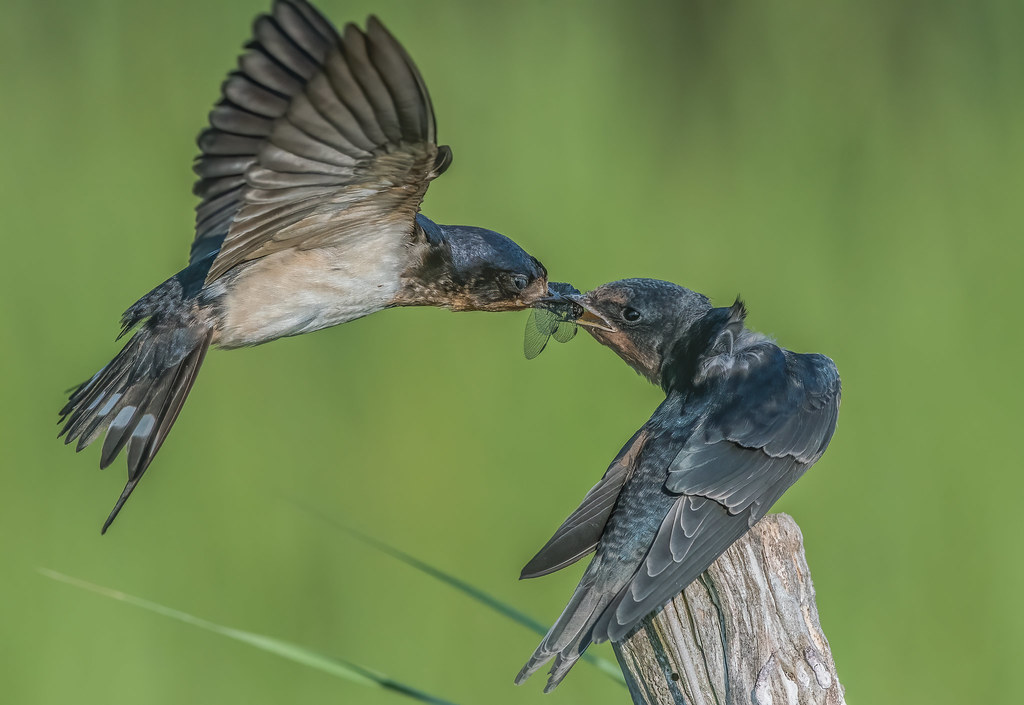 Barn Swallow fledgling being fed