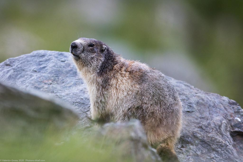 fagarasi_08_marmota adulta
