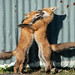 Urban Fox Family Bubble