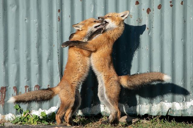 Urban Fox Family Bubble