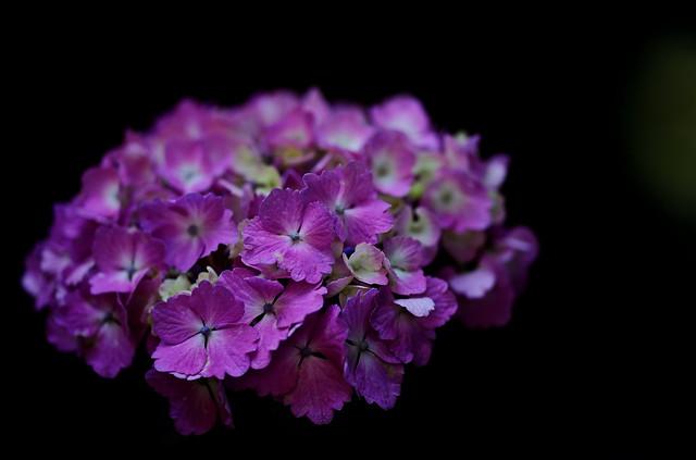 flower 1850