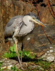 Grey Heron, Ardea cenerea, Gråhäger