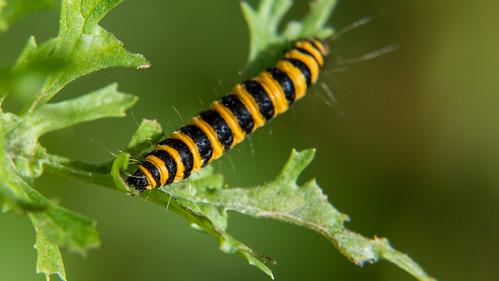 Cinnabar moth caterpillars, Himley Park
