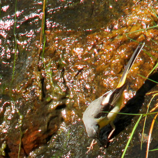 Caught a bug - Grey wagtail, Motacilla cinerea, Forsärla