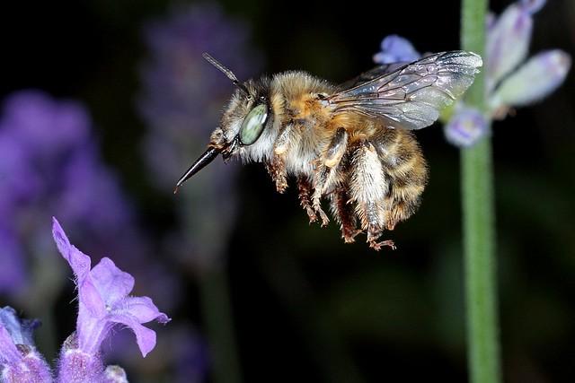 Rolf Nagel-Fl-9329-Anthophora quadrimaculata Female