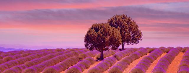 Lavanta Tarlası ve Ağaçlar(Lavender Field and Trees)