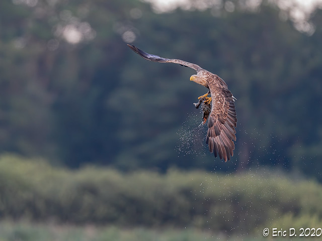 Sea Eagle with Duck