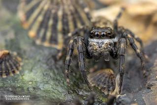 Marine jumping spider (Diplocanthopoda marina) - DSC_5848