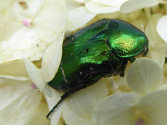 Rose Chafer in Hydrangea