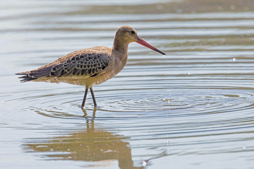 Young Black-tailed godwit (Limosa limosa)