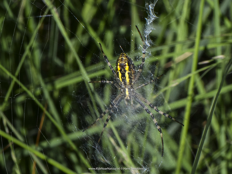 Tijgerspin (Argiope bruennichi)-620_0508