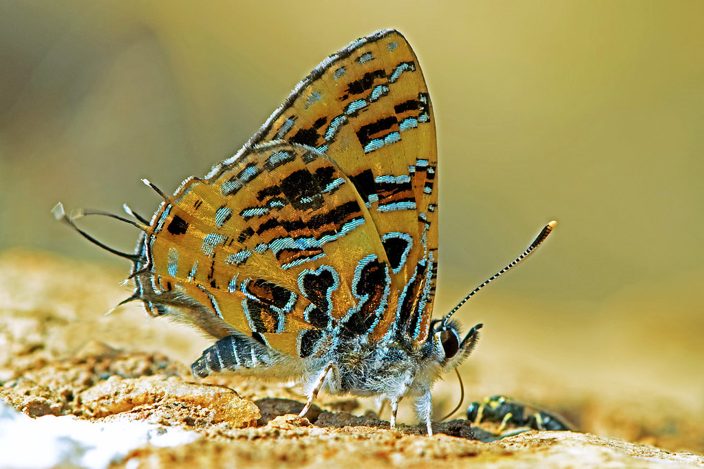 Catapaecilma subochrea - the Yellow Tinsel