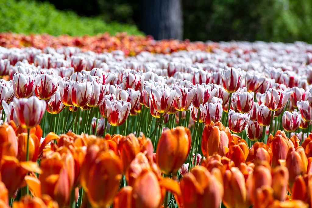 Layers of tulips in bloom