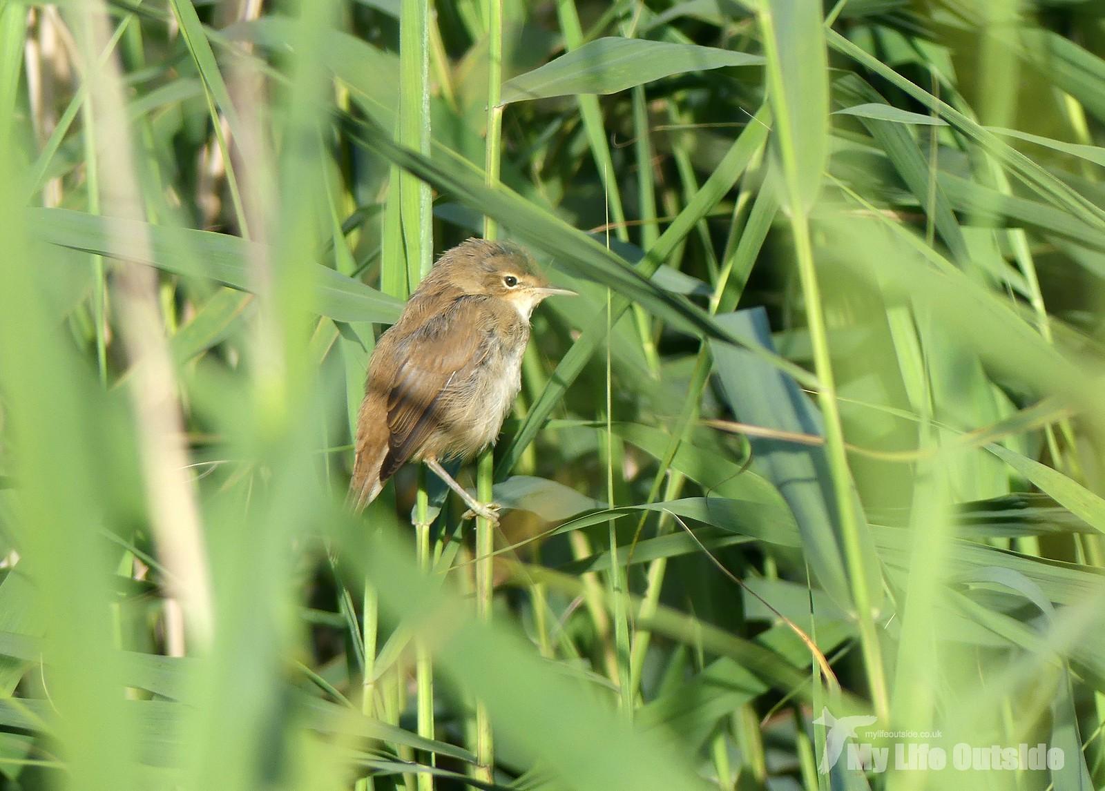 P1240381 - Reed Warbler, Pwll