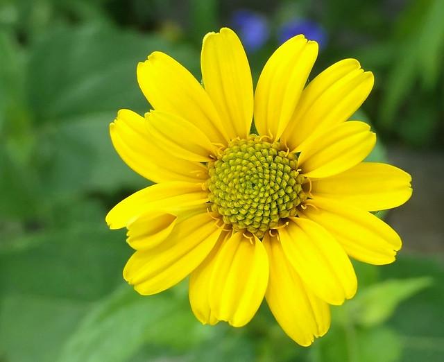 Sunflower Heliopsis