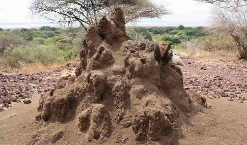 Les termites peuvent devenir de véritables lâches