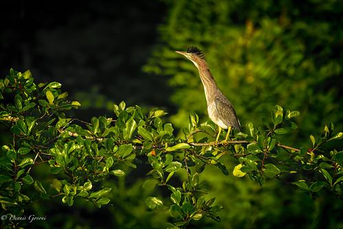 meadowlark virginia background bird greenheron lakegardiner summer sunrise wildlife