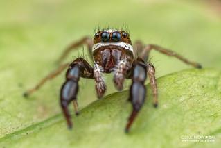 Jumping spider (Pseudicius sp.) - DSC_5499